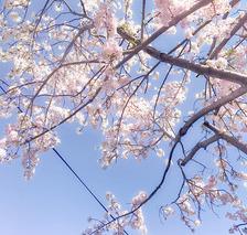 さくら咲いてきました!